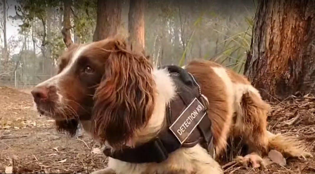 taylor rescatadora de koalas australia