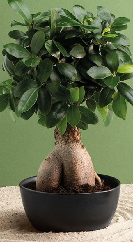 chollo bonsai de aldi